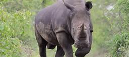 rhino in the delta
