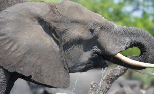 African elephants drinking. Picture: Stephen Scourfield
