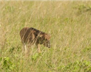 The first Wildebeest Calf in the Zambezi National park in many years !