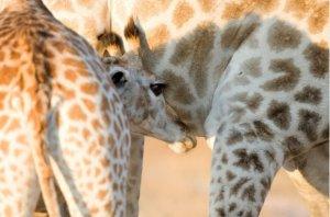 imire giraffe