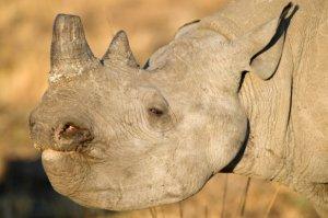 imire rhino