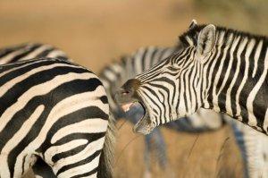 imire zebra