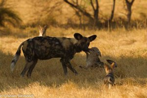Solo: a solitary wild dog changing perceptions of the remarkable wild world we live in