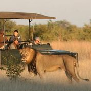 camp hwange lion 2