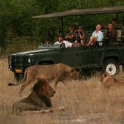 camp hwange lion 3