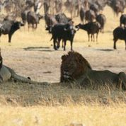 camp hwange lion