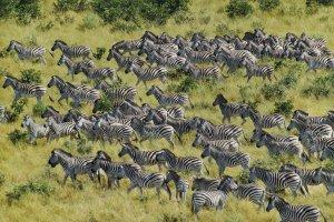 Burchell's zebras (Equus quagga) migrate through Chobe National Park in Botswana.