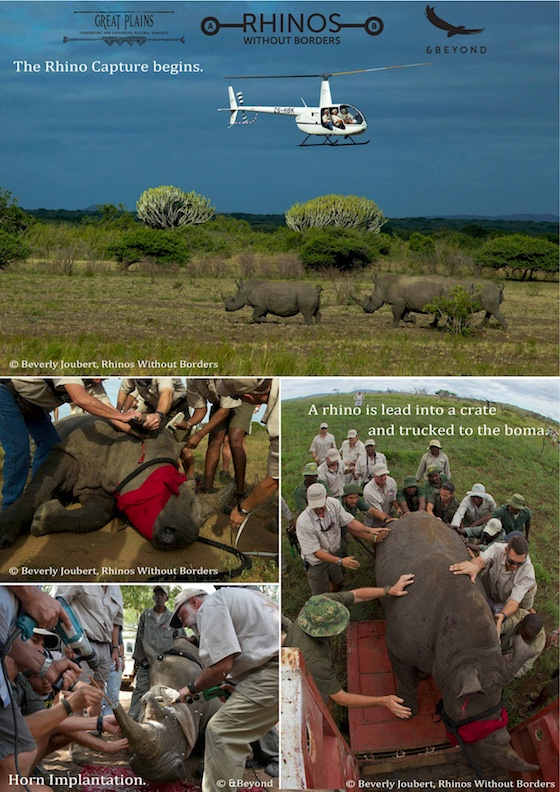 Rhinos Without Borders Tranlocation - Visuals (1)