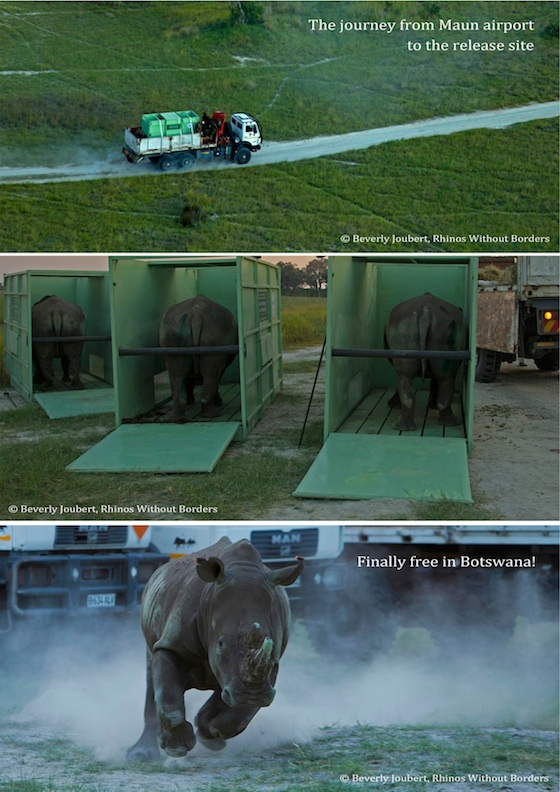 Rhinos Without Borders Tranlocation - Visuals3 (1)