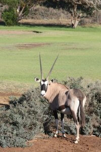 An Oryx watching a round of golf from the rough. (Image via Tracks4Africa)