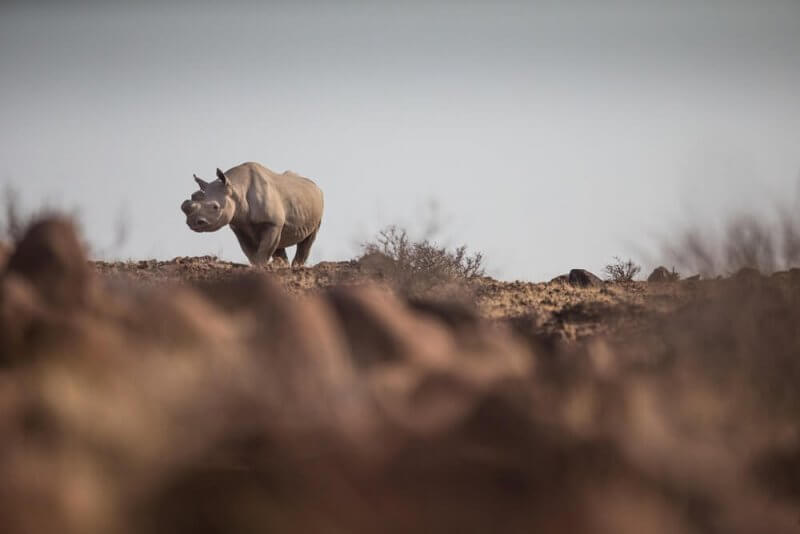 Tracking desert-adapted rhino with Save the Rhino Trust ©James Suter
