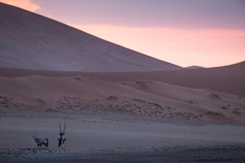 Oryx at sunset ©James Suter