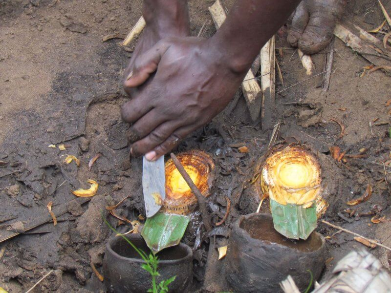 Preparing the Ilala Palms for production